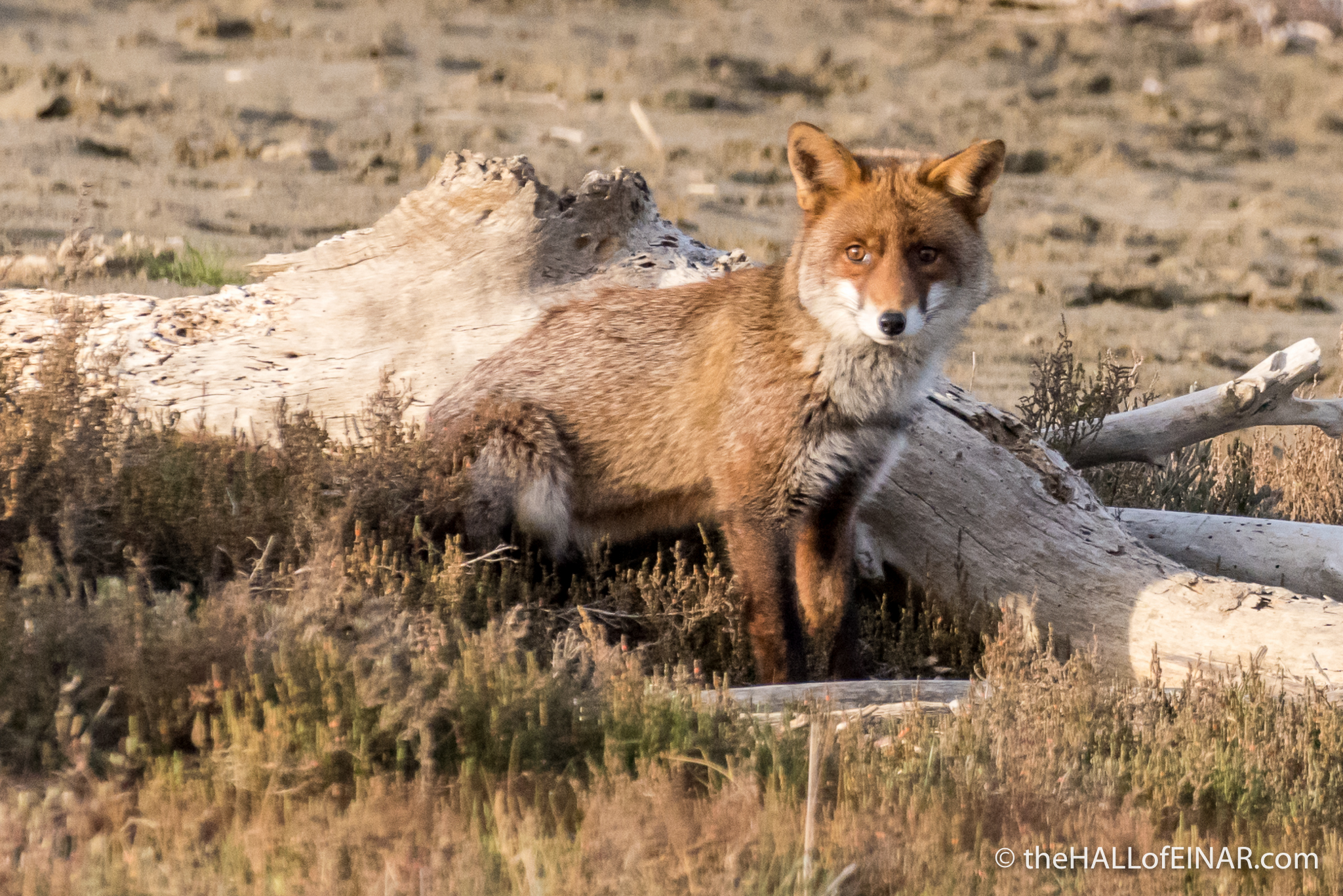 Red Fox - The Hall of Einar - photograph (c) David Bailey (not the)