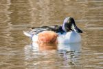 Northern Shoveler - The Hall of Einar - photograph (c) David Bailey (not the)