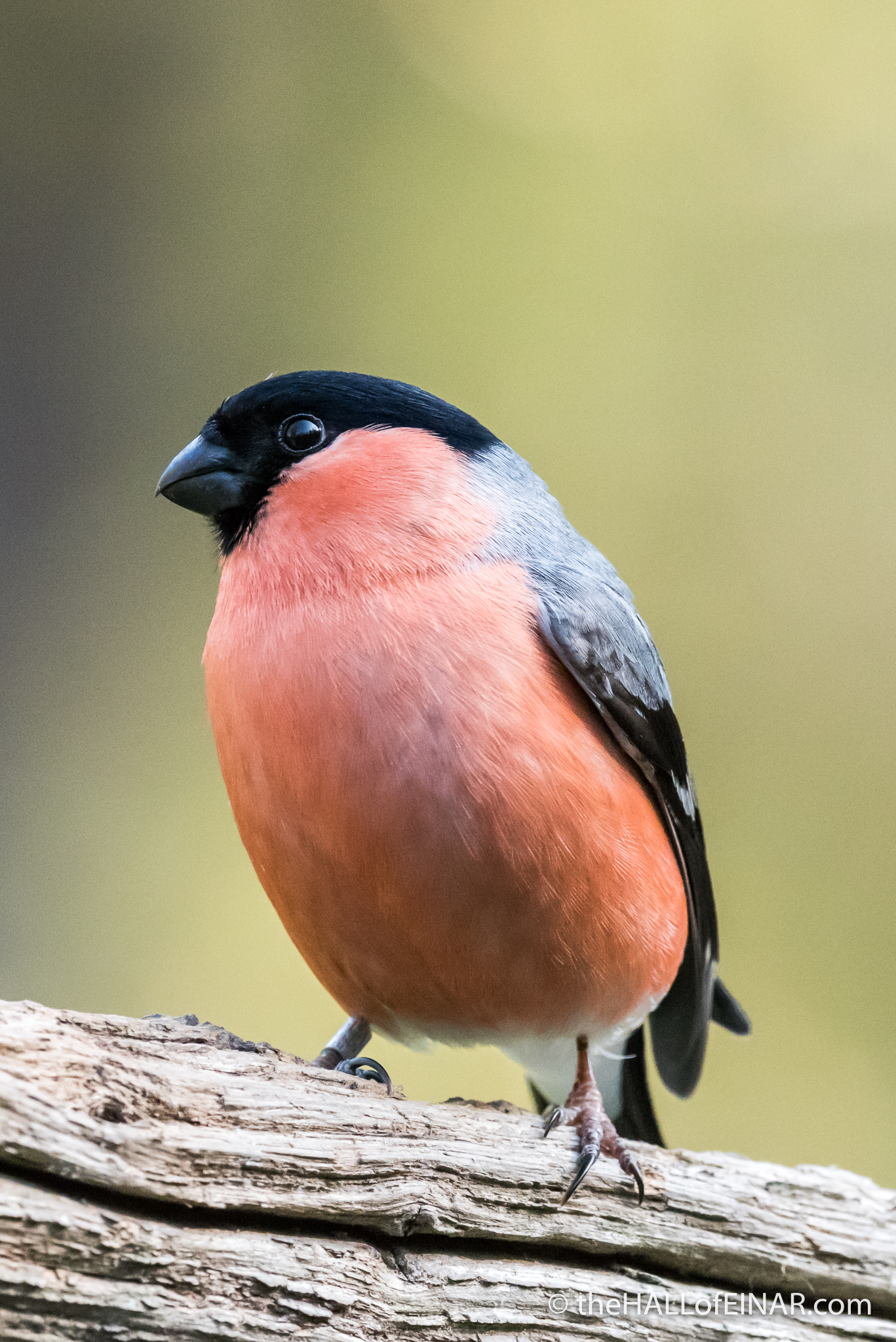 Bullfinch - The Hall of Einar - photograph (c) David Bailey (not the)