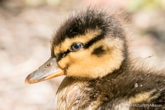Duckling - The Hall of Einar - photograph (c) David Bailey (not the)