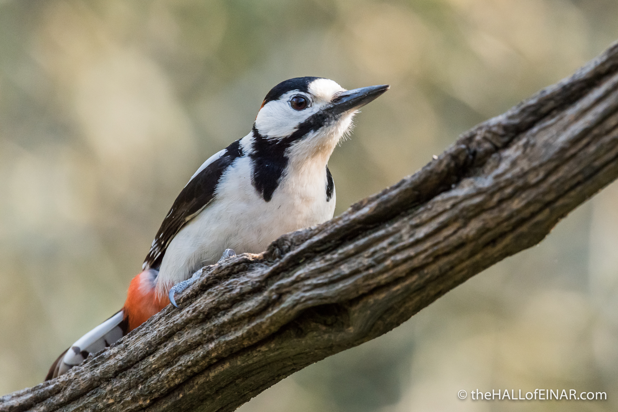 Great Spotted Woodpecker - The Hall of Einar - photograph (c) David Bailey (not the)