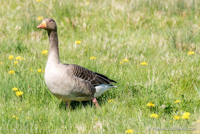 Greylag Goose - The Hall of Einar - photograph (c) David Bailey (not the)