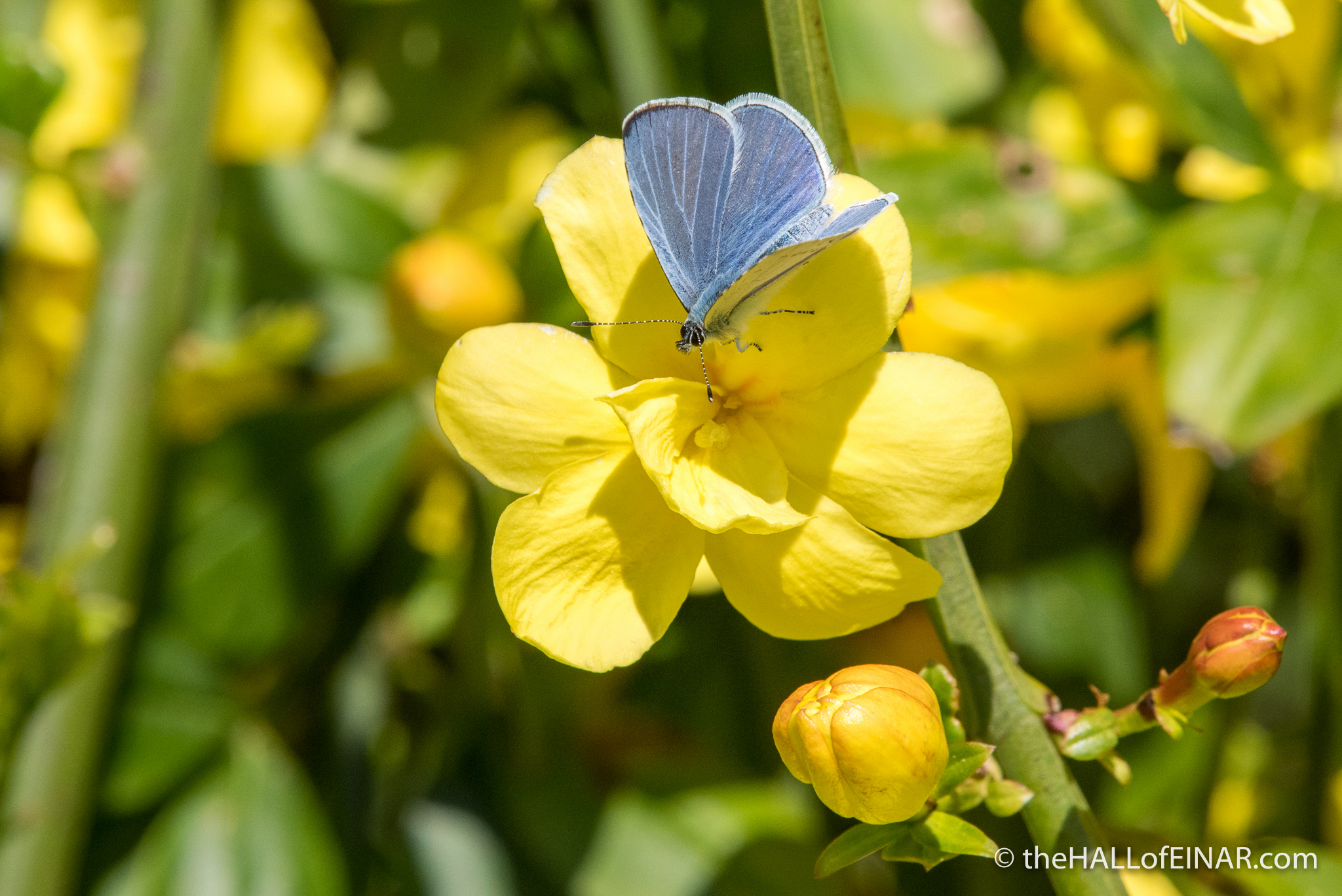 Holly Blue - The Hall of Einar - photograph (c) David Bailey (not the)
