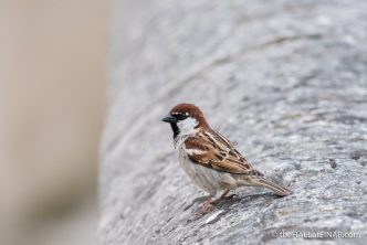 Italian Sparrow - The Hall of Einar - photograph (c) David Bailey (not the)