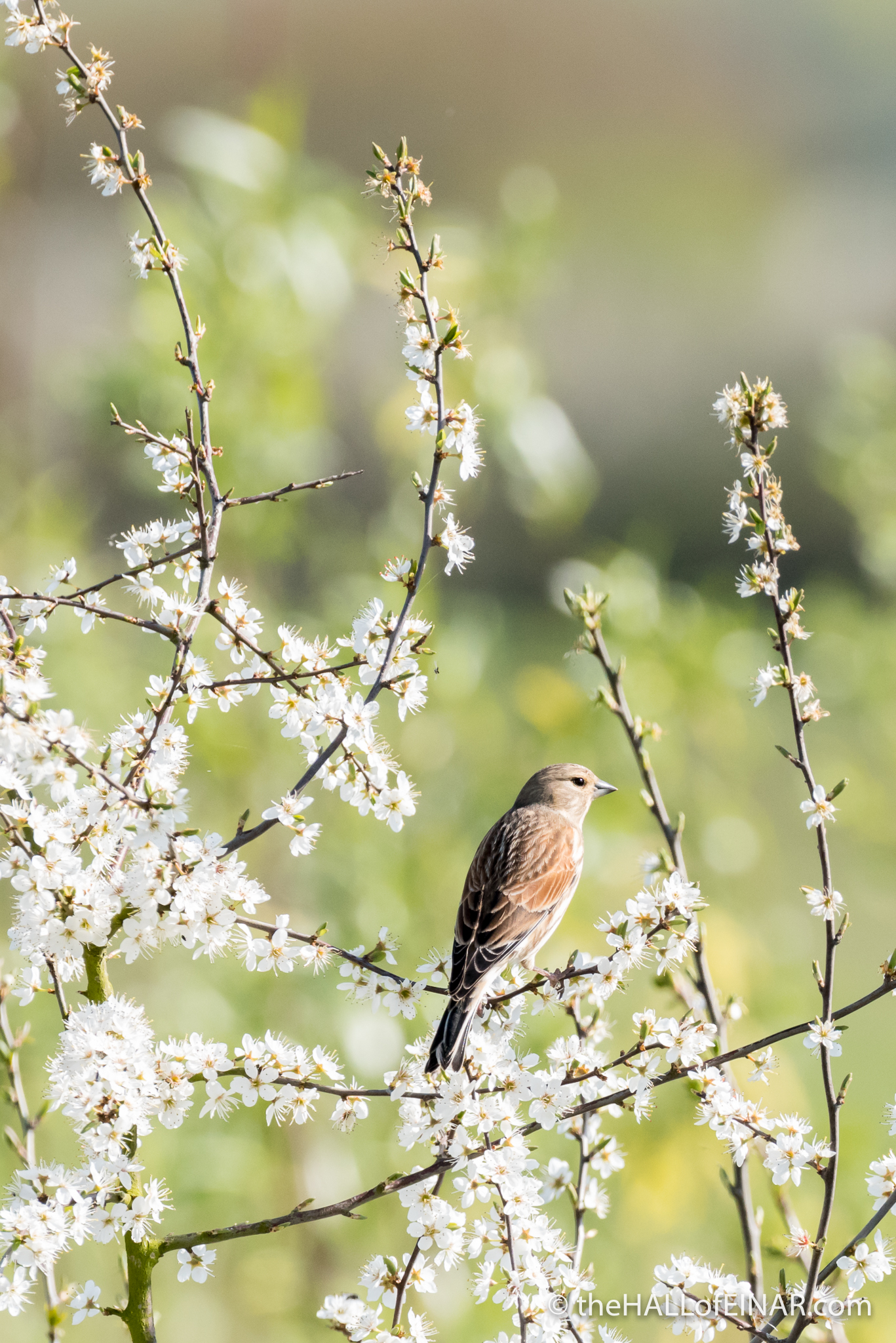 Linnet in Blossom - The Hall of Einar - photograph (c) David Bailey (not the)