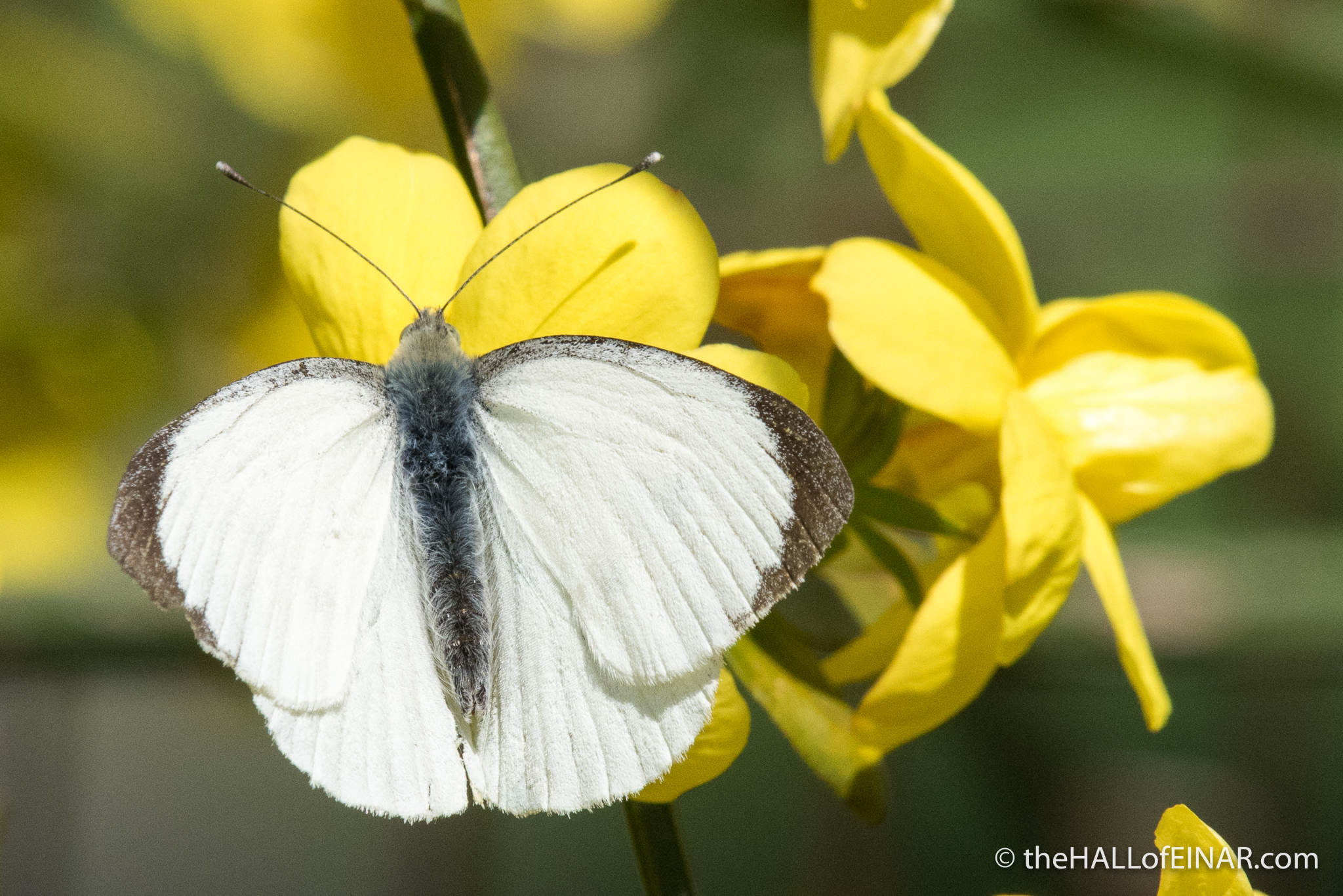 Male Large White Butterfly - The Hall of Einar - photograph (c) David Bailey (not the)