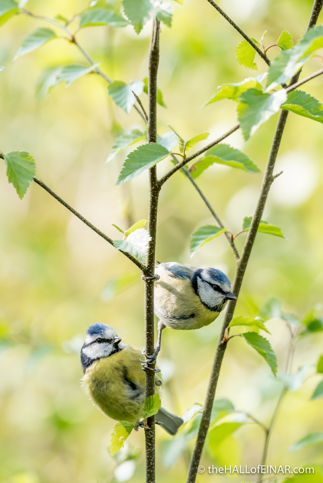 Blue Tits - The Hall of Einar - photograph (c) David Bailey (not the)