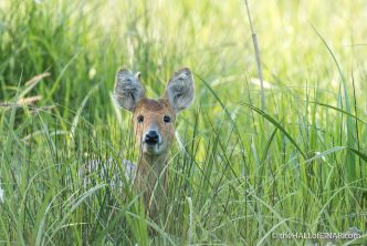 Chinese Water Deer - The Hall of Einar - photograph (c) David Bailey (not the)