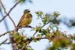 Cirl Bunting - The Hall of Einar - photograph (c) David Bailey (not the)