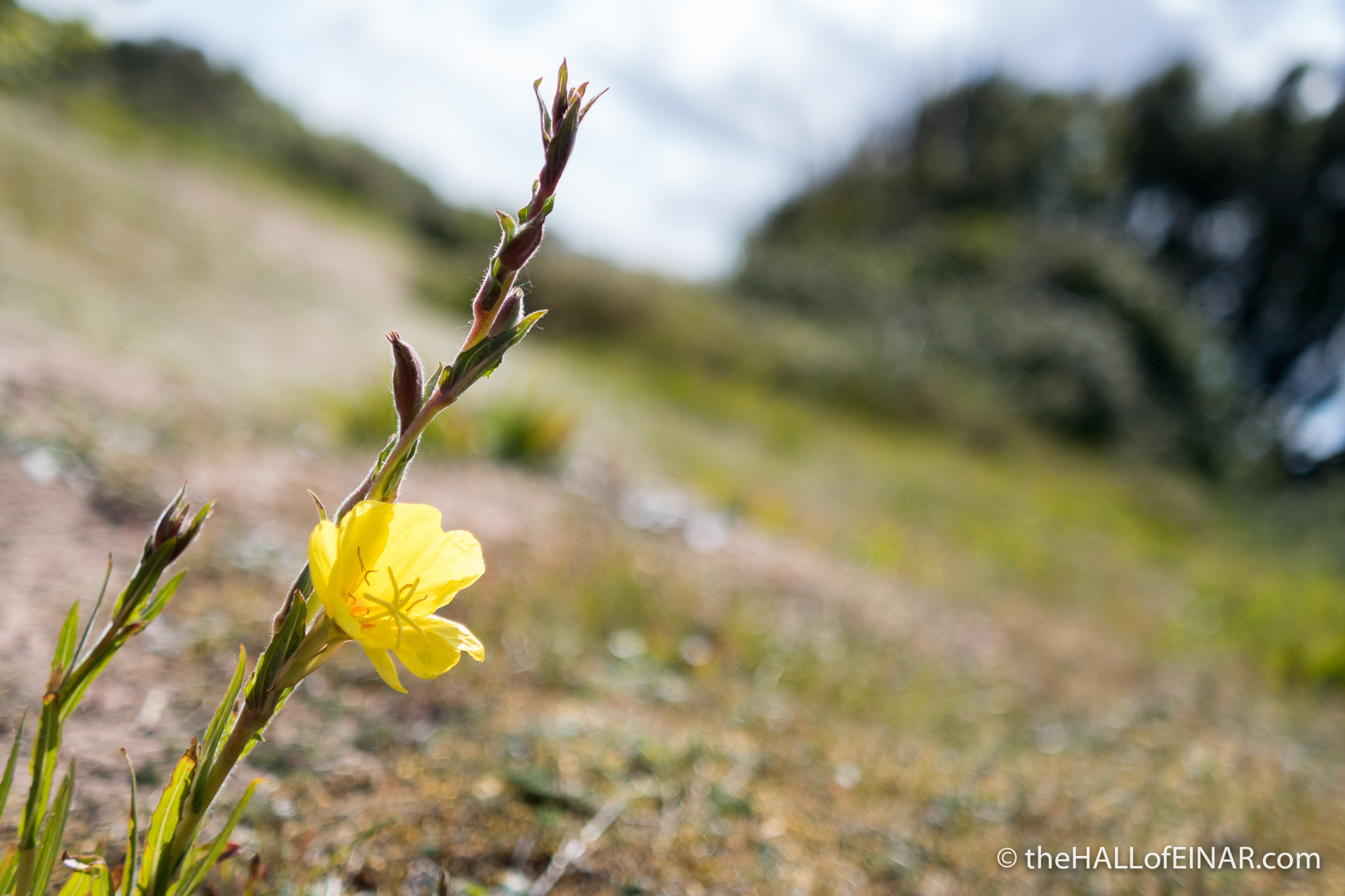 Evening Primrose - The Hall of Einar - photograph (c) David Bailey (not the)