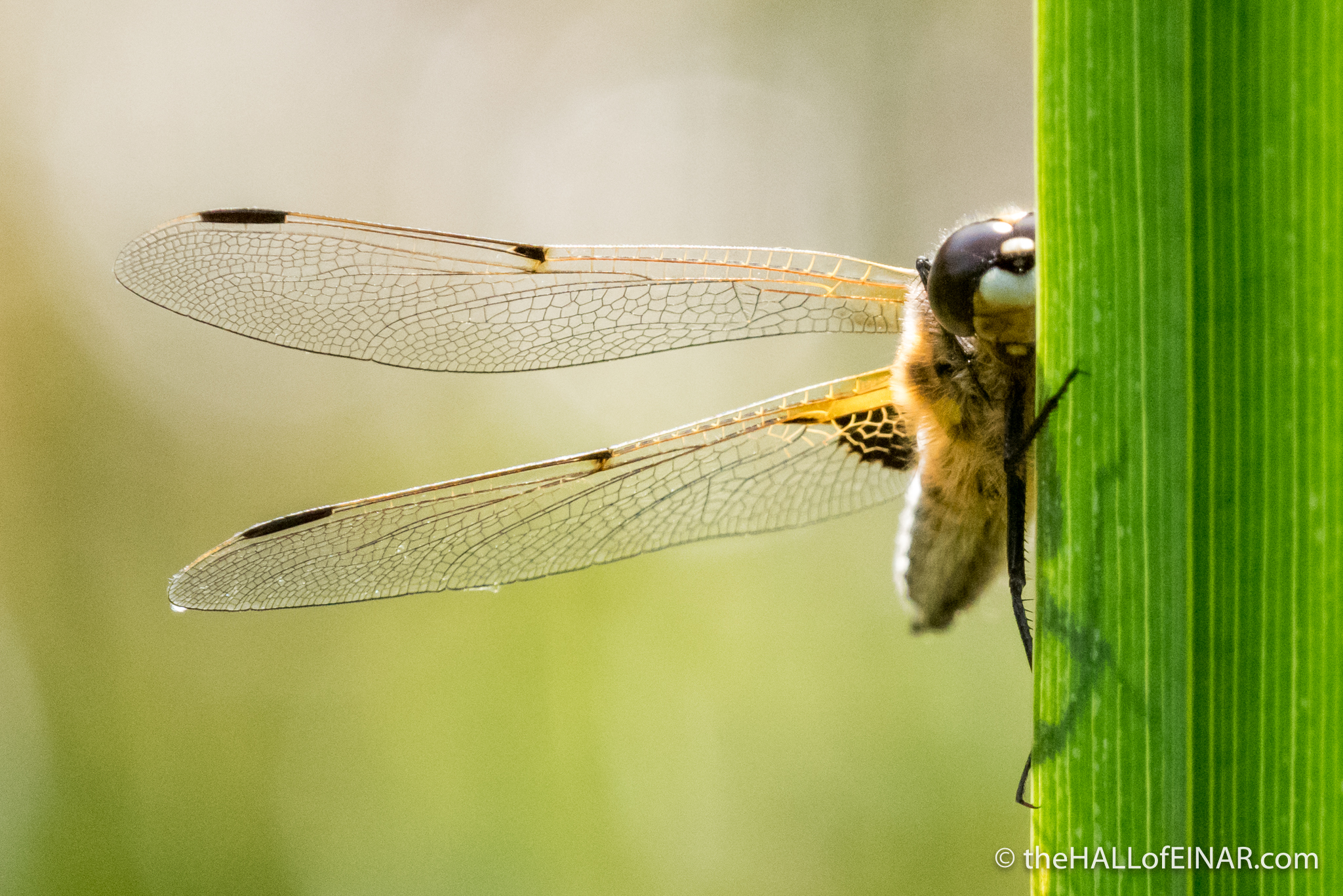 Four-Spotted Chaser - The Hall fo Einar - photograph (c) David Bailey (not the)