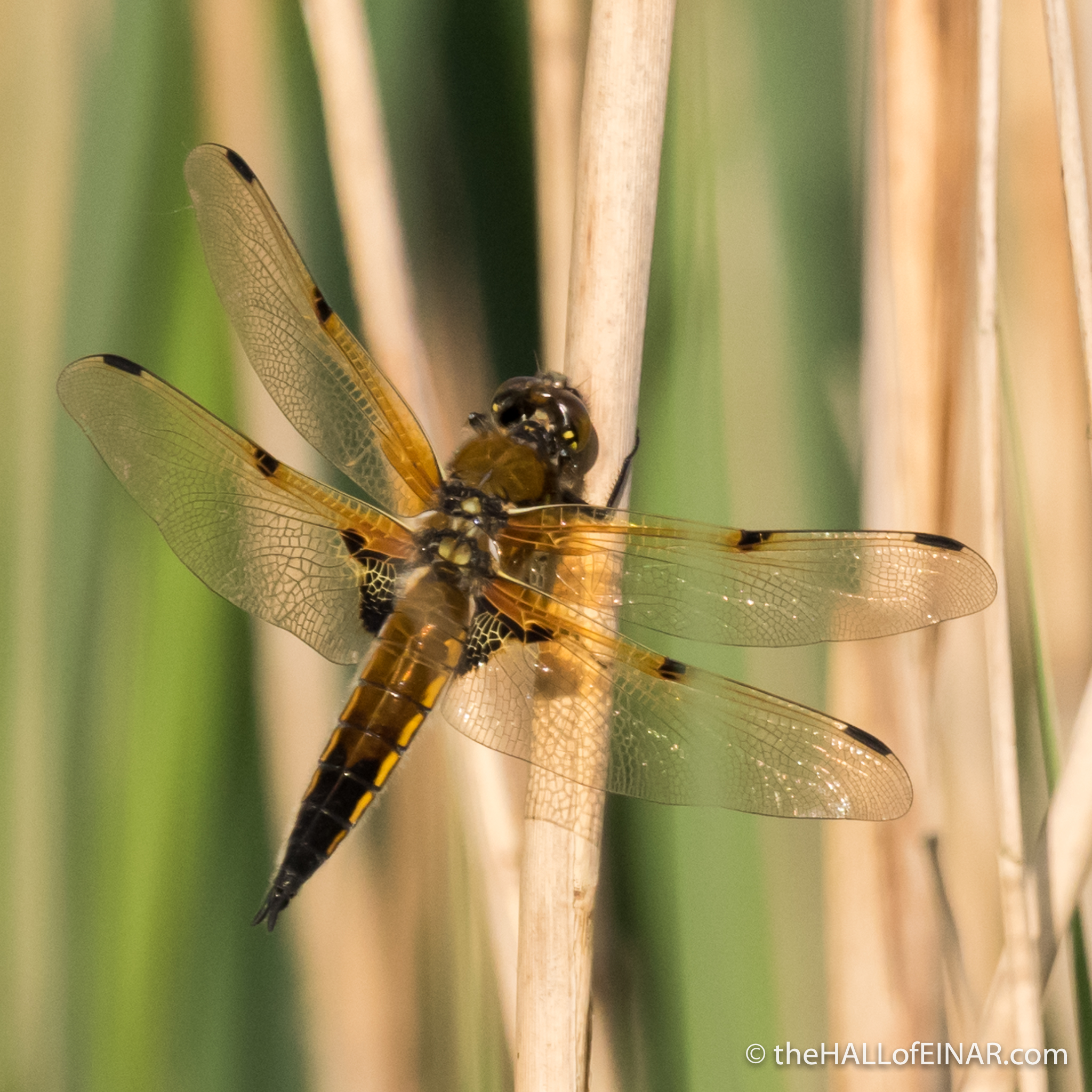 Four Spotted Chaser - The Hall of Einar - photograph (c) David Bailey (not the)