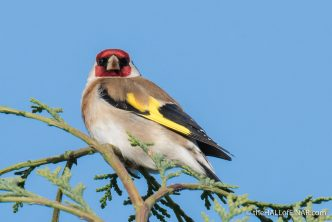 Goldfinch - The Hall of Einar - photograph (c) David Bailey (not the)