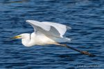 Great White Egret - The Hall of Einar - photograph (c) David Bailey (not the)