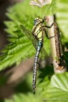 Hairy Dragonfly - The Hall of Einar - photograph (c) David Bailey (not the)