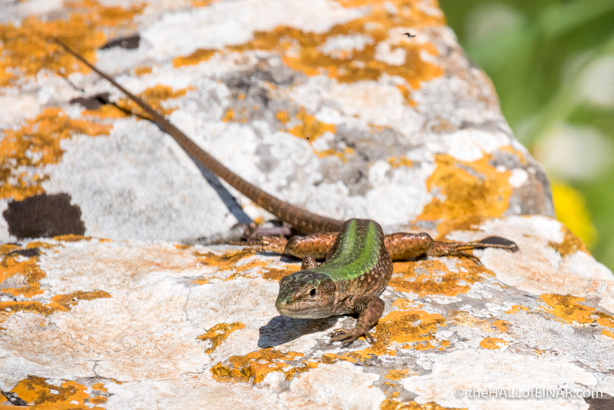 Italian Wall Lizard - The Hall of Einar - photograph (c) David Bailey (not the)