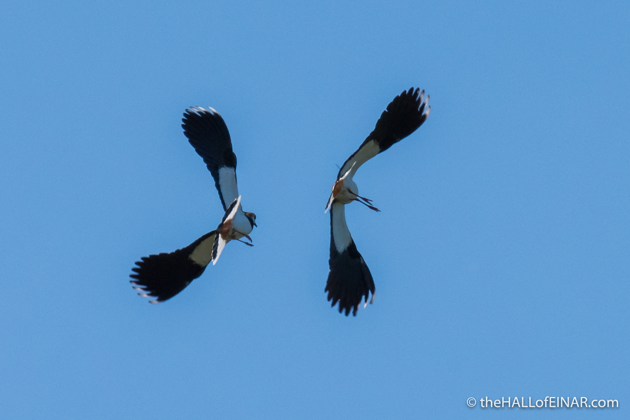 Lapwings - The Hall of Einar - photograph (c) David Bailey (not the)