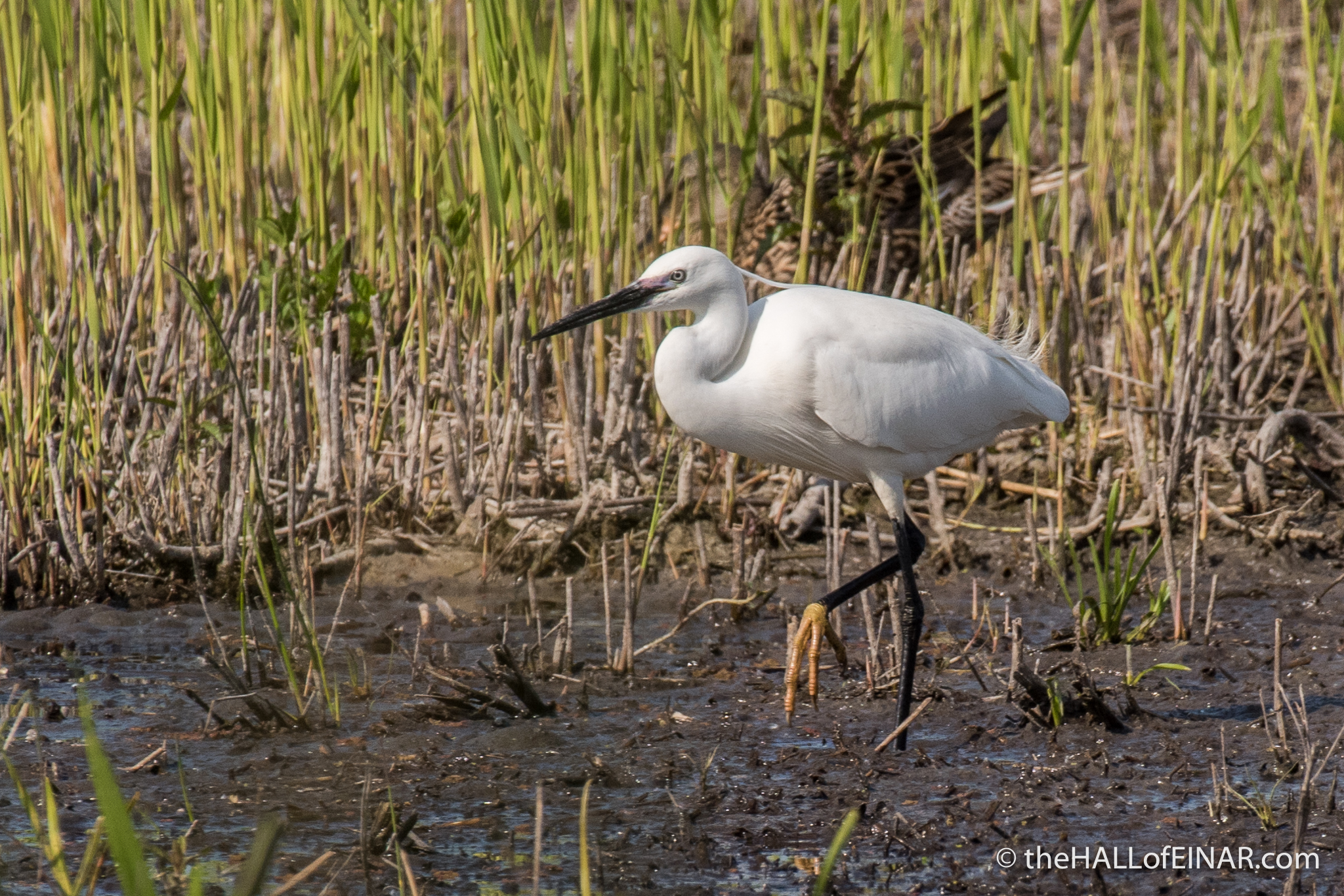 Little Egret - The Hall of Einar - photograph (c) David Bailey (not the)