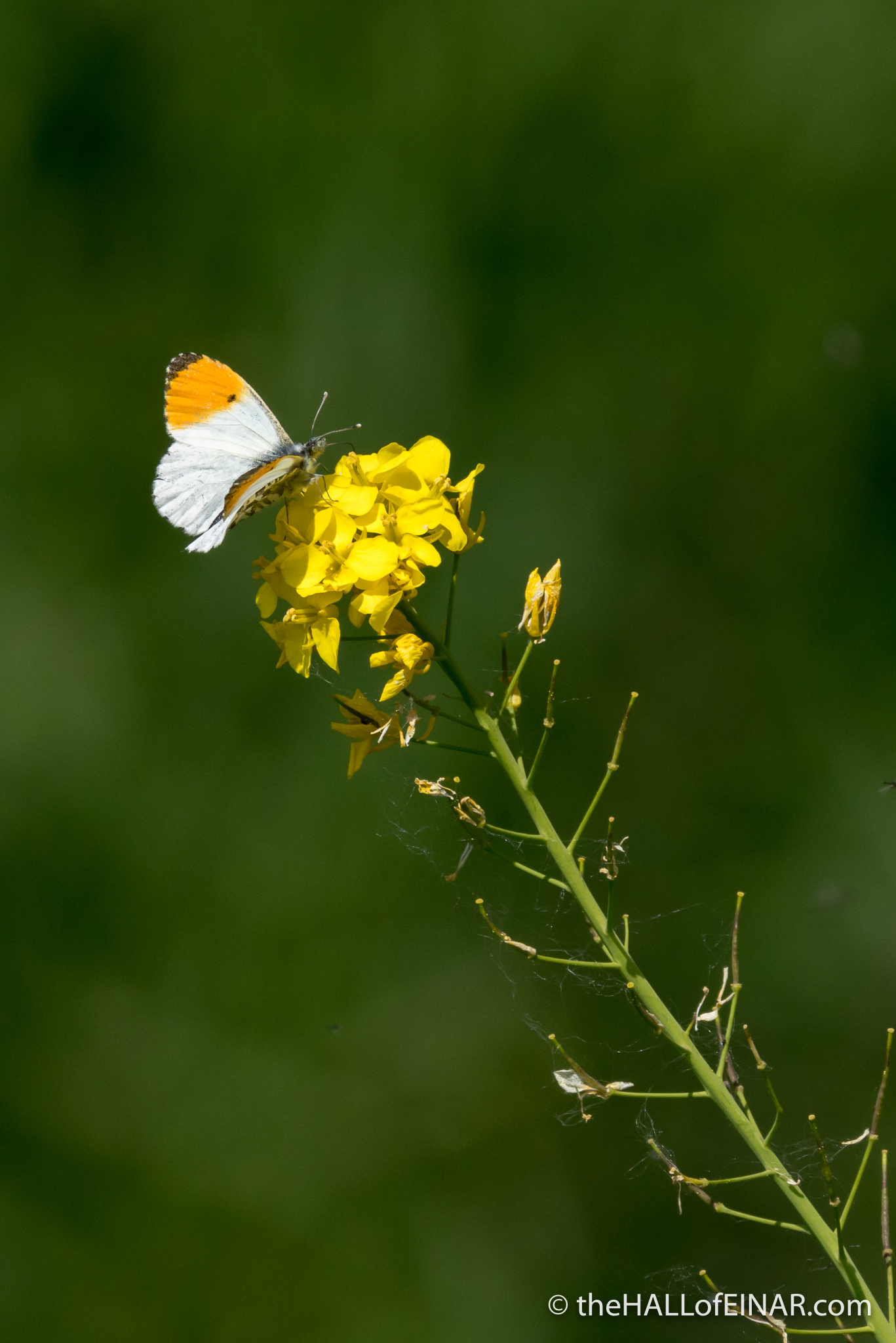 Male Orange Tip Butterfly - The Hall of Einar - photograph (c) David Bailey (not the)