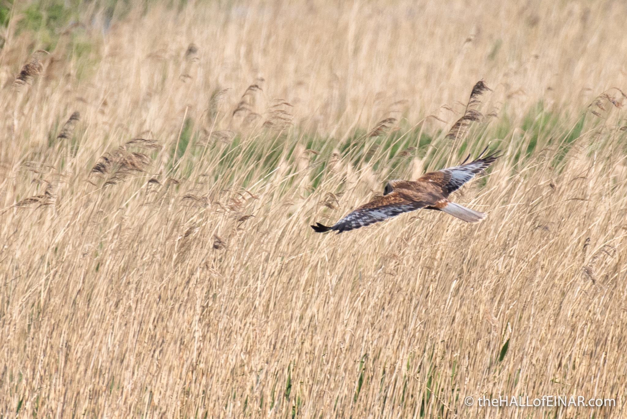 Marsh Harrier over the Marsh - The Hall of Einar - photograph (c) David Bailey (not the)