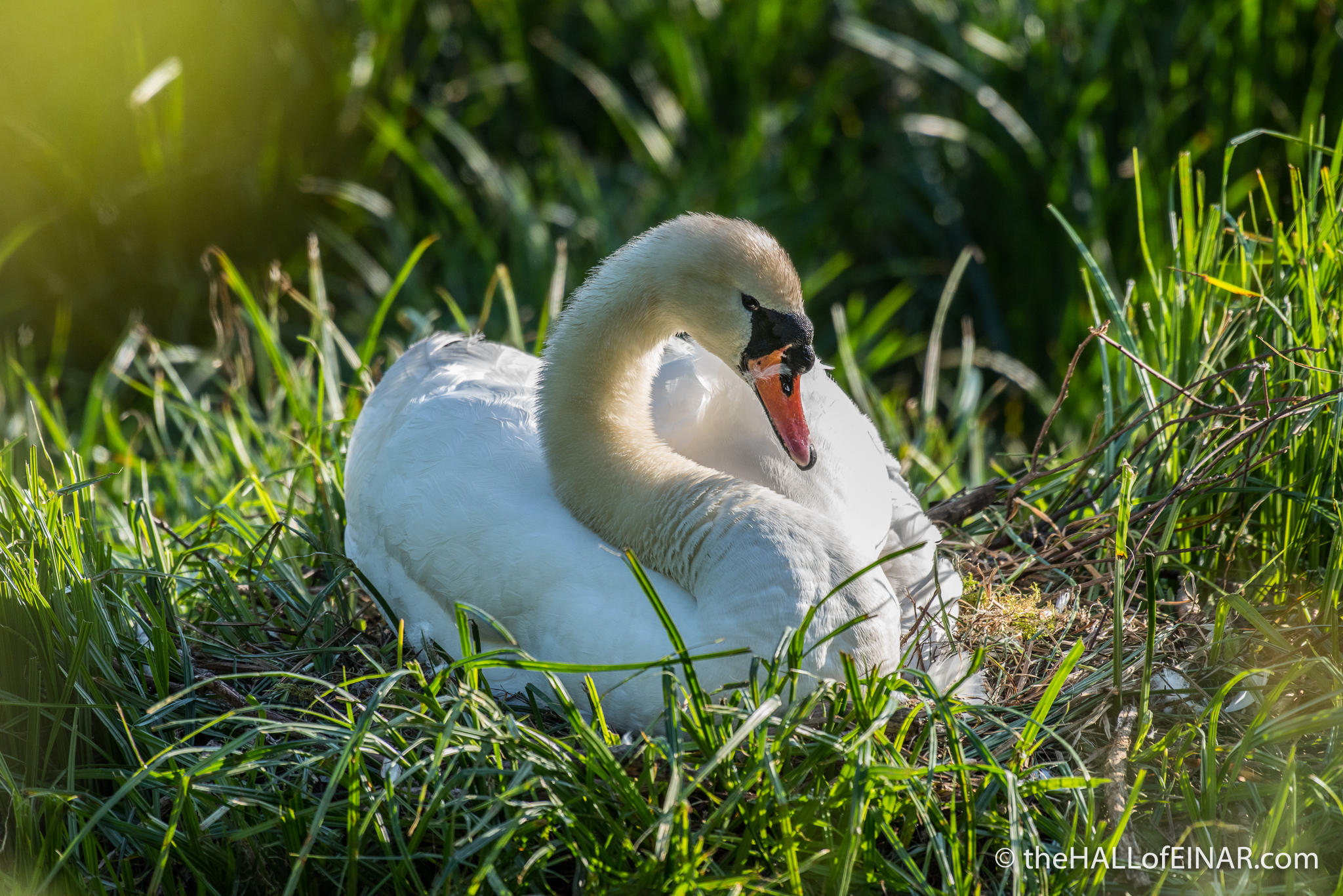 Mute Swan on nest - The Hall of Einar - photograph (c) David Bailey (not the)
