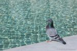 Pigeon - The Hall of Einar - photograph (c) David Bailey (not the)