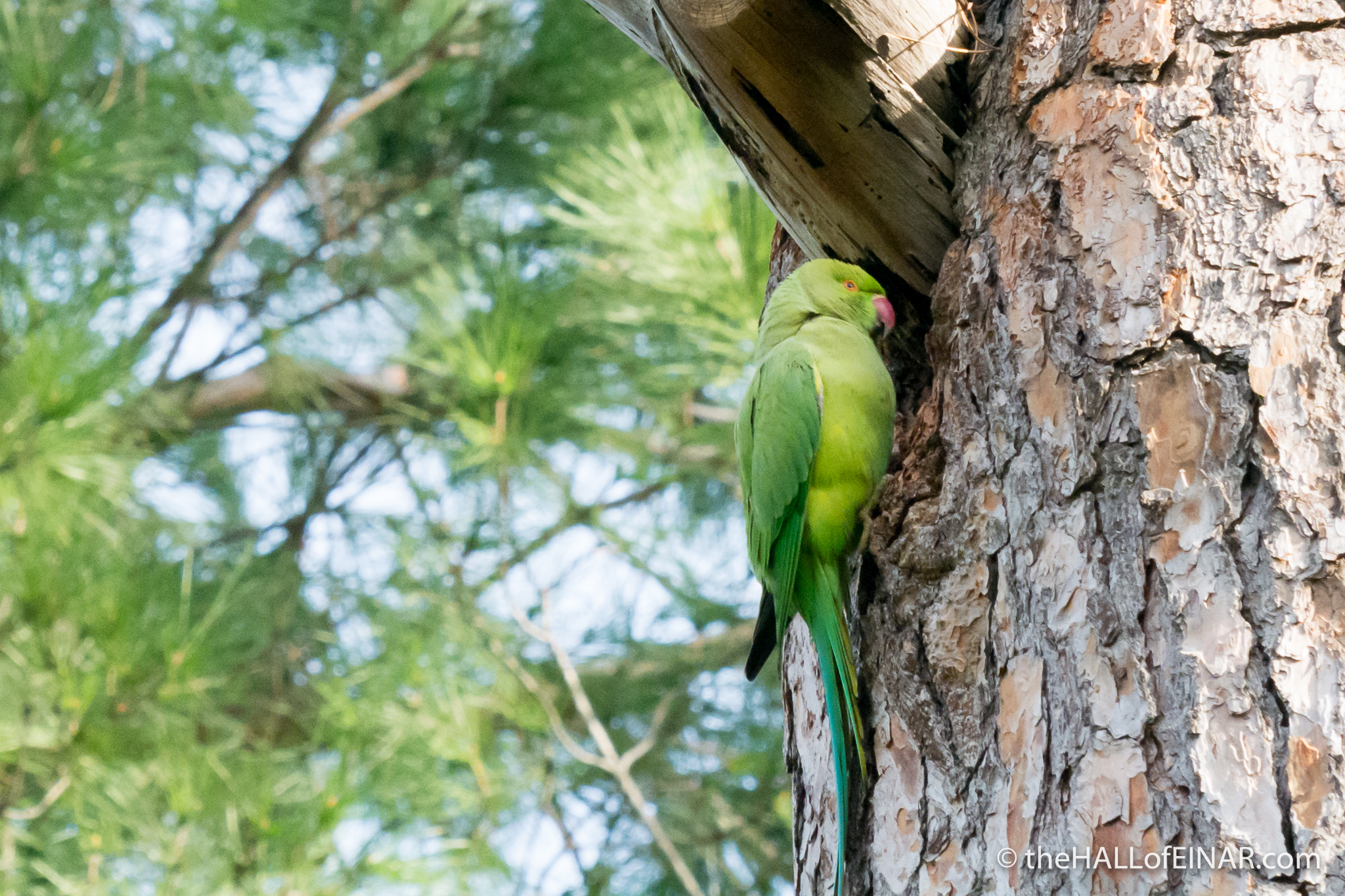 Rose-Ringed Parakeet - The Hall of Einar - photograph (c) David Bailey (not the)