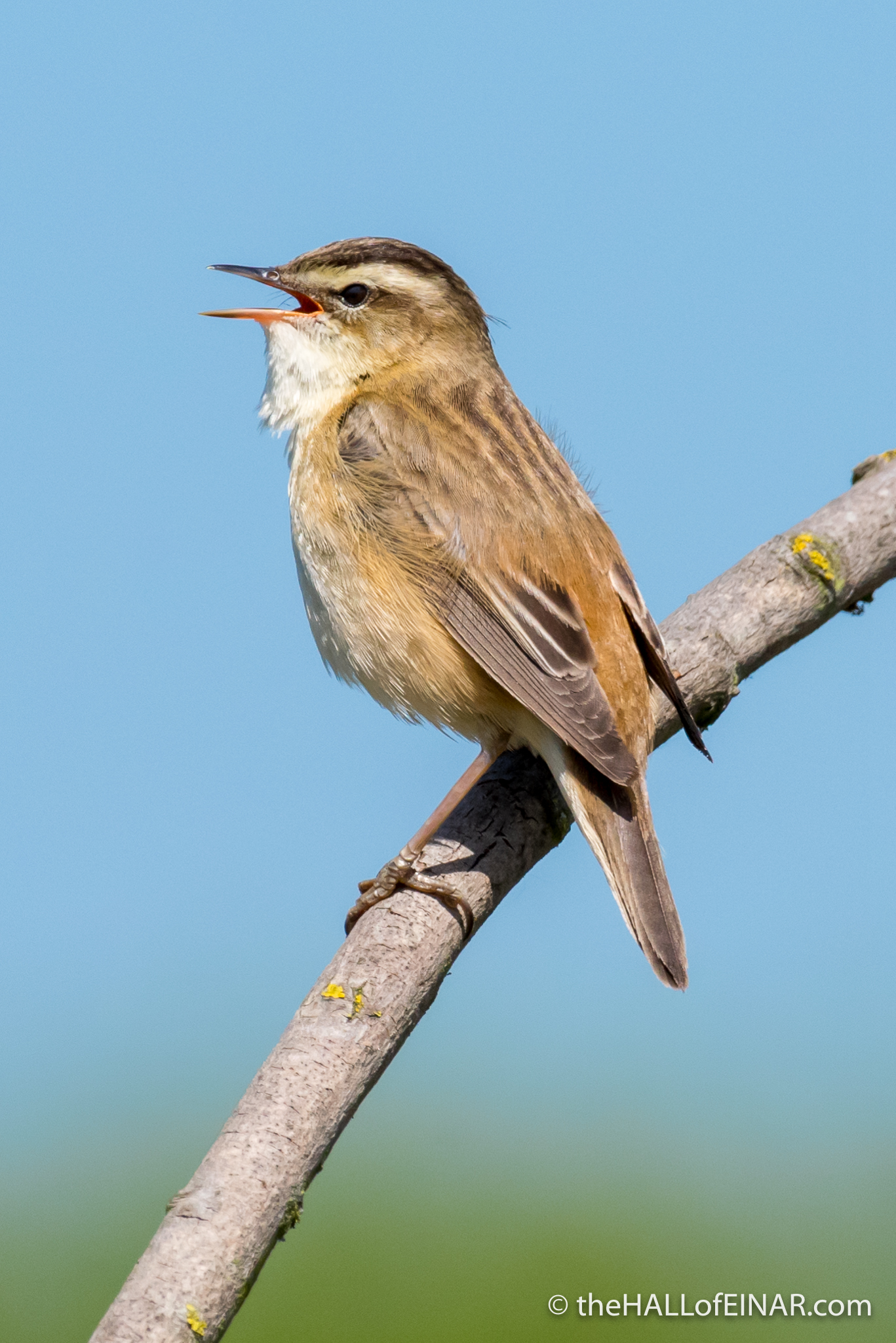 Sedge Warbler - The Hall of Einar - photograph (c) David Bailey (not the)