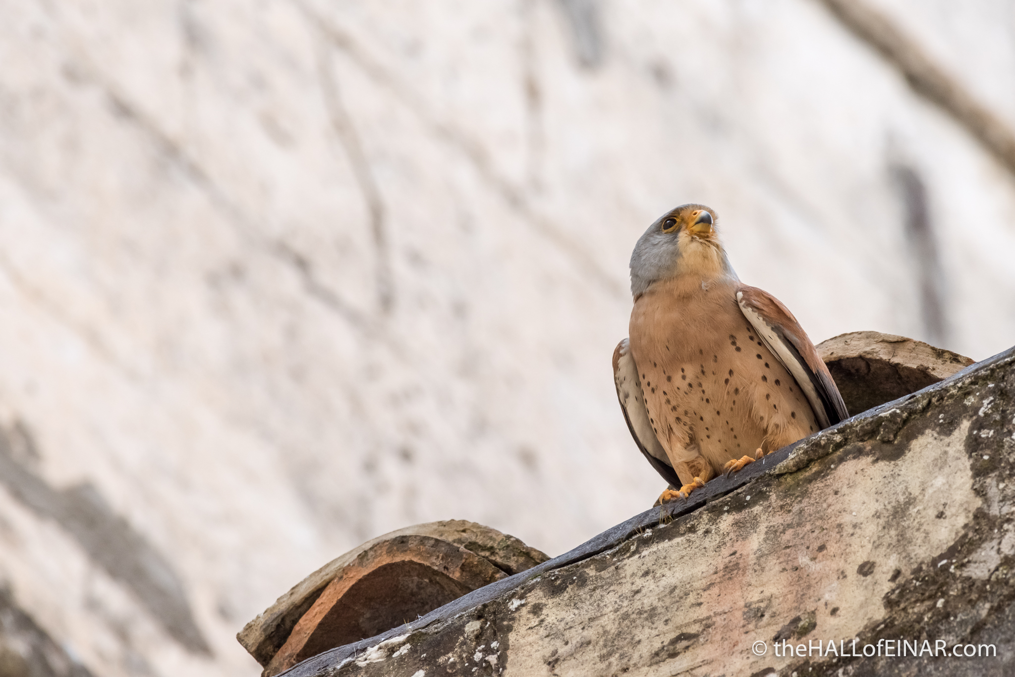 The Lesser Kestrels of Matera - The Hall of Einar - photograph (c) David Bailey (not the)