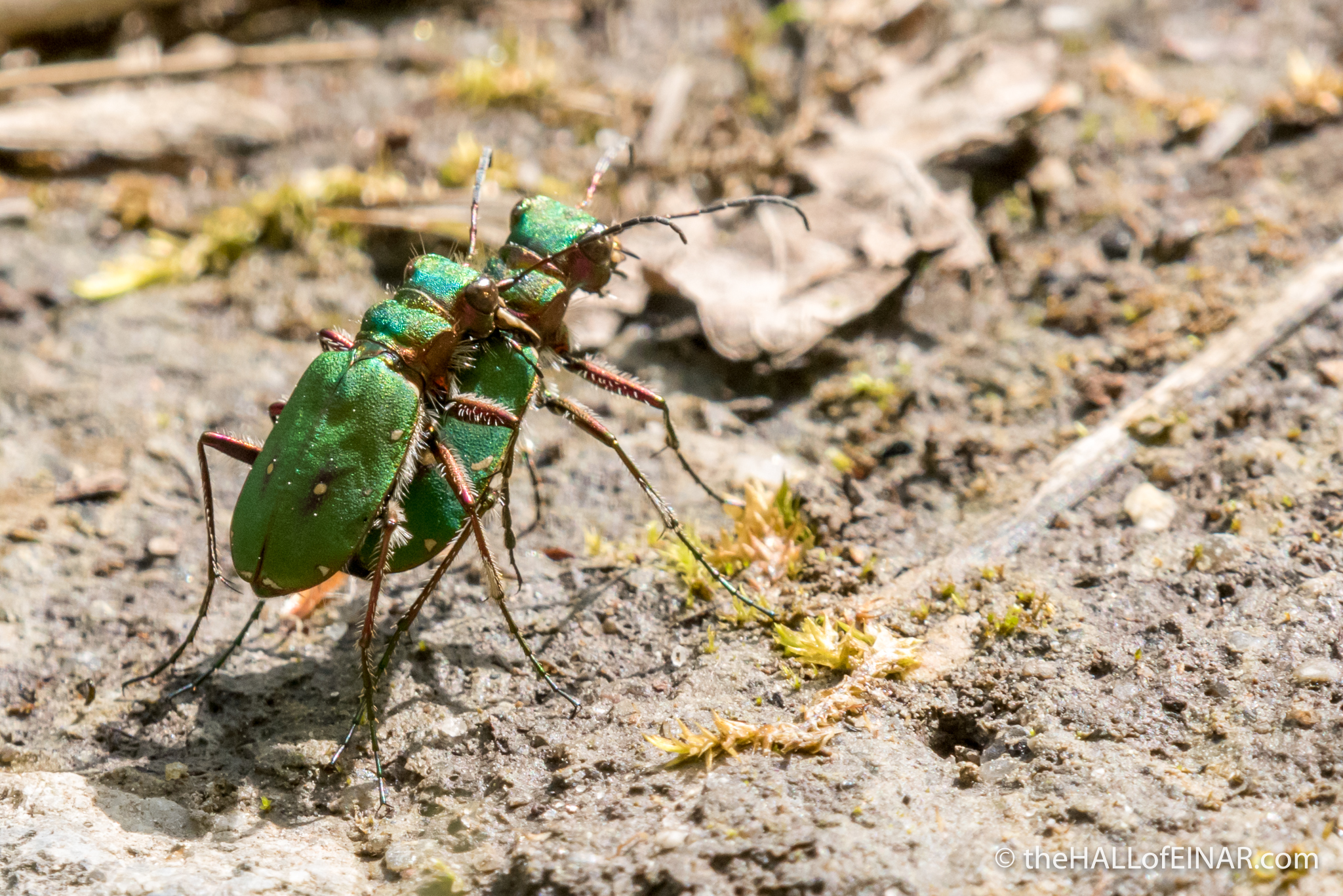 Tiger Beetles - The Hall fo Einar - photograph (c) David Bailey (not the)