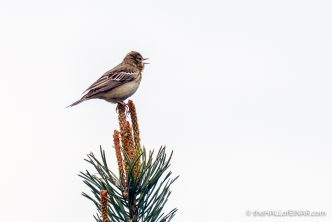 Tree Pipit - The Hall of Einar - photograph (c) David Bailey (not the)
