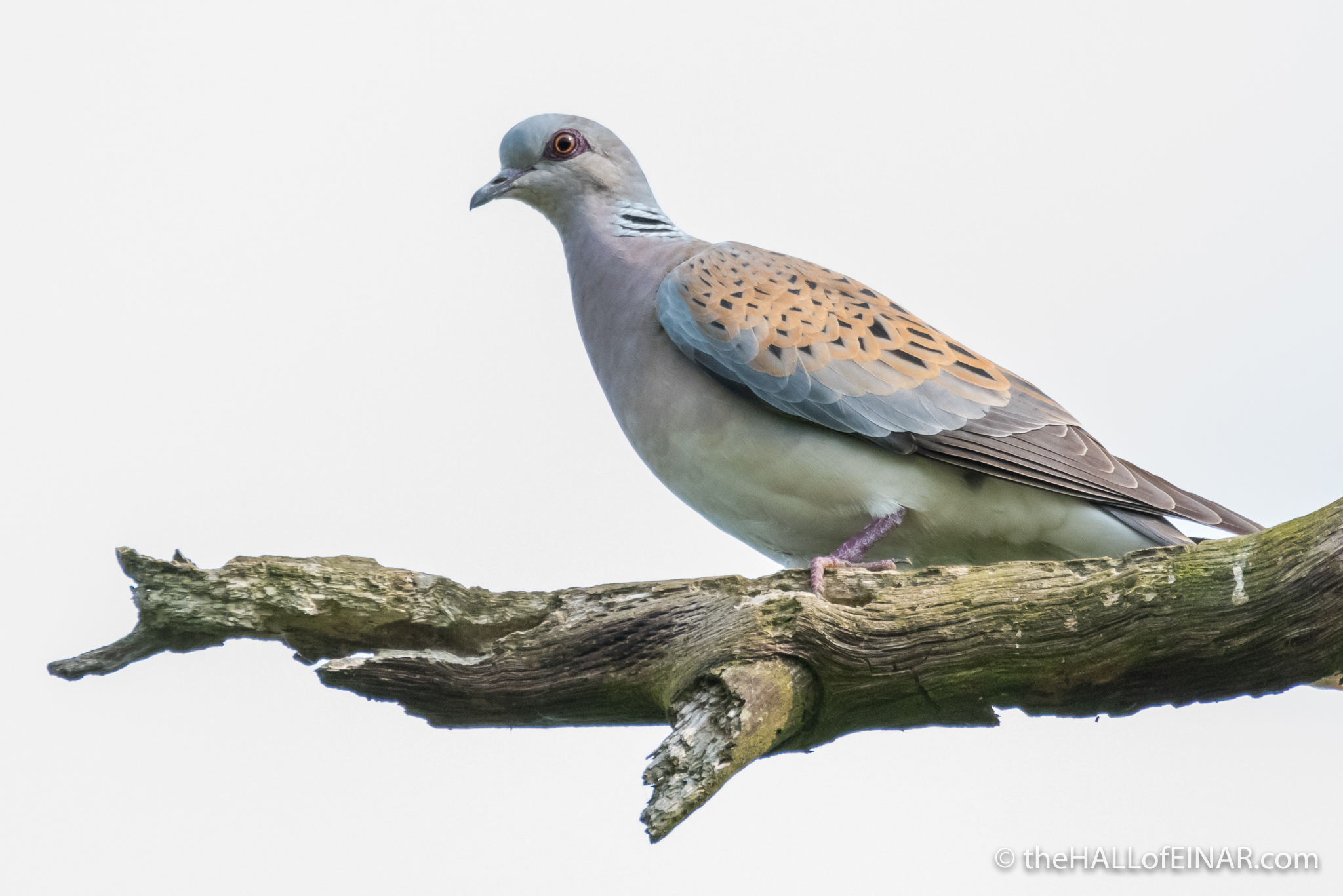Turtle Dove - Otmoor - The Hall of Einar - photograph (c) David Bailey (not the)