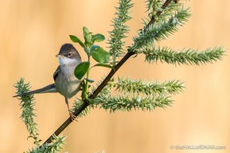 Whitethroat - The Hall of Einar - photograph (c) David Bailey (not the)