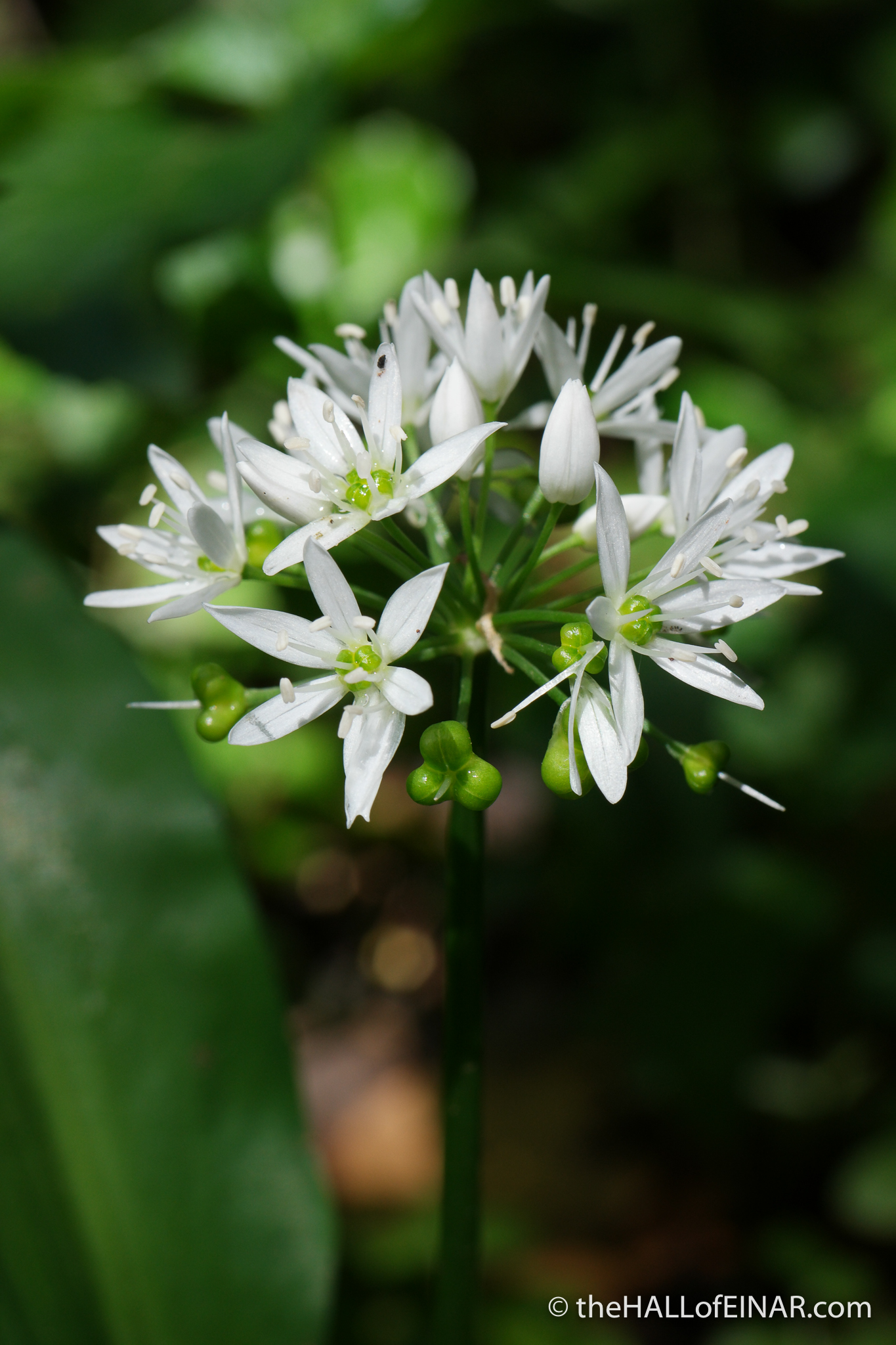 Wild Garlic - The Hall of Einar - photograph (c) David Bailey (not the)