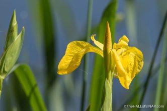 Yellow Flag Iris - The Hall of Einar - photograph (c) David Bailey (not the)