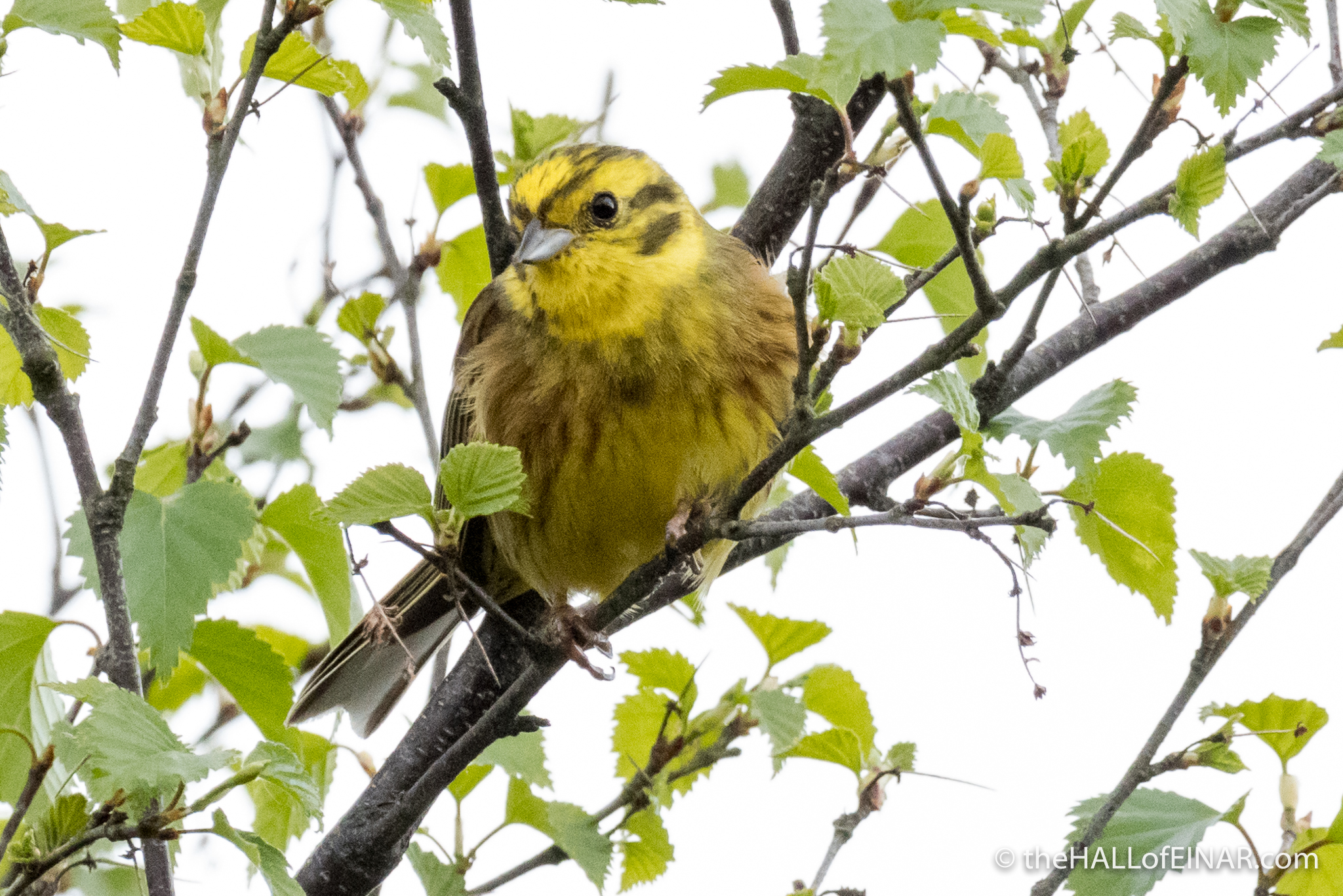 Yellowhammer - The Hall of Einar - photograph (c) David Bailey (not the)