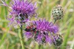 Six Spot Burnet Moth - The Hall of Einar - photograph (c) David Bailey (not the)