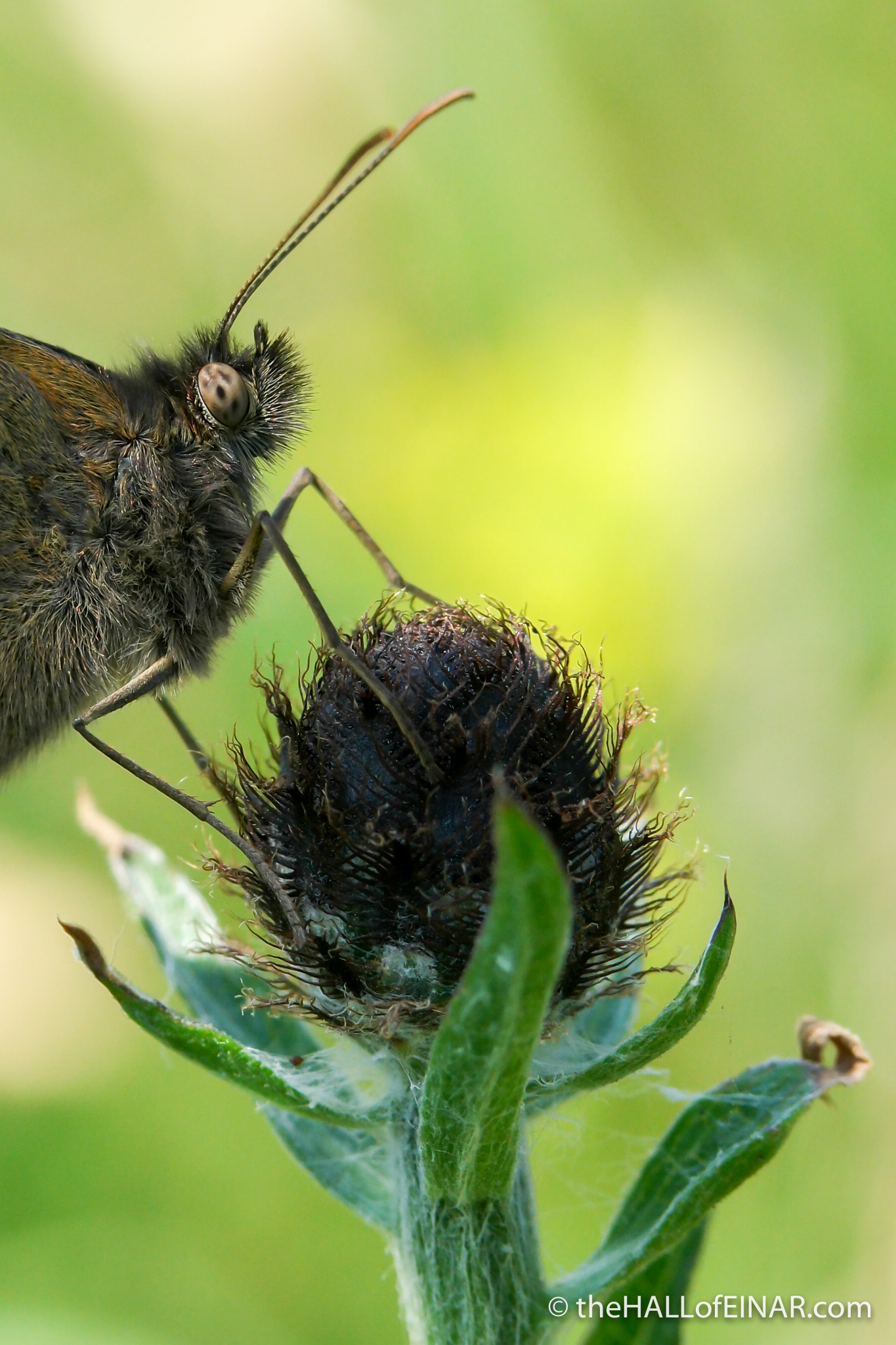 Meadow Brown - The Hall of Einar - photograph (c) David Bailey (not the)