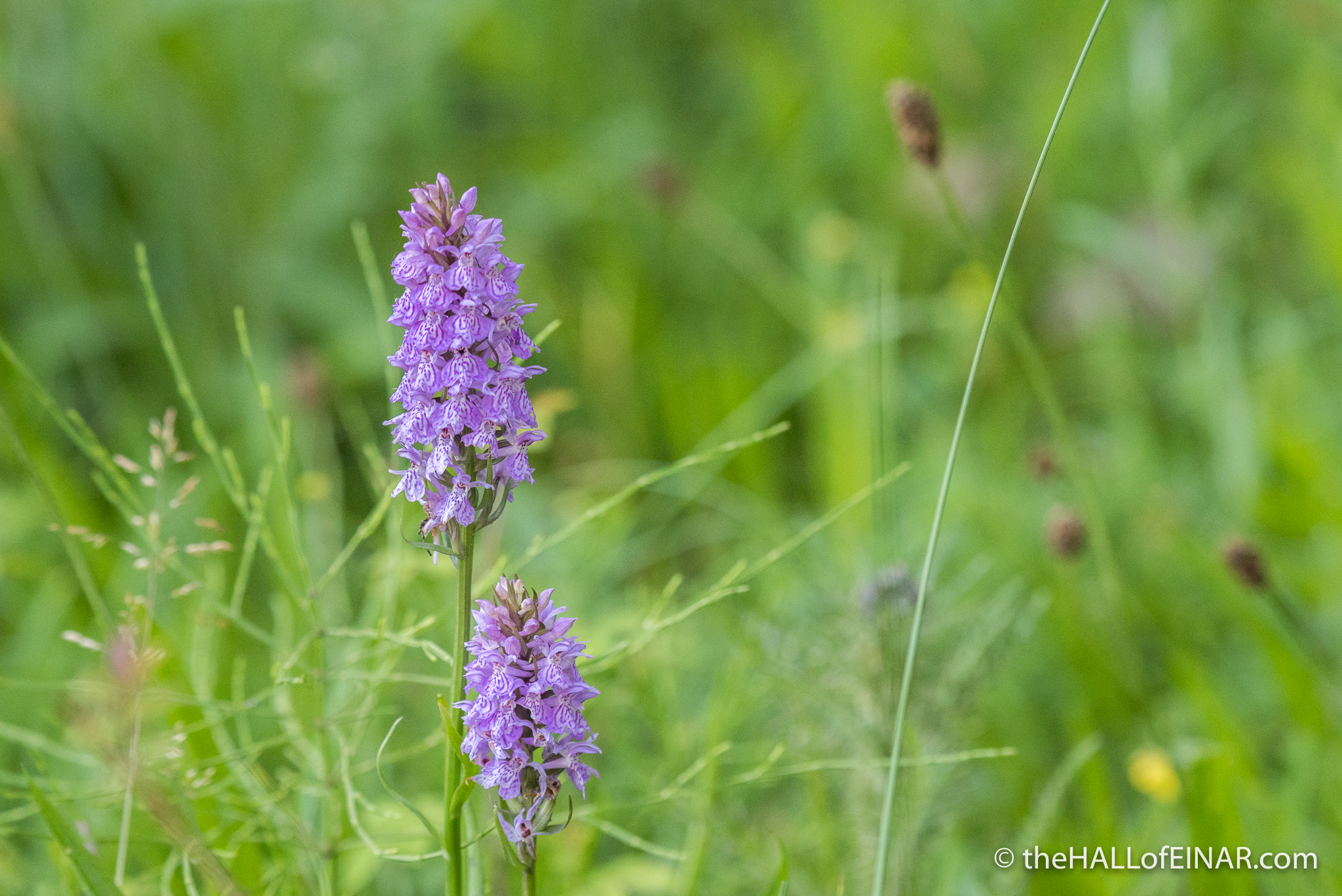 Common Spotted Orchid - The Hall of Einar - photograph (c) David Bailey (not the)