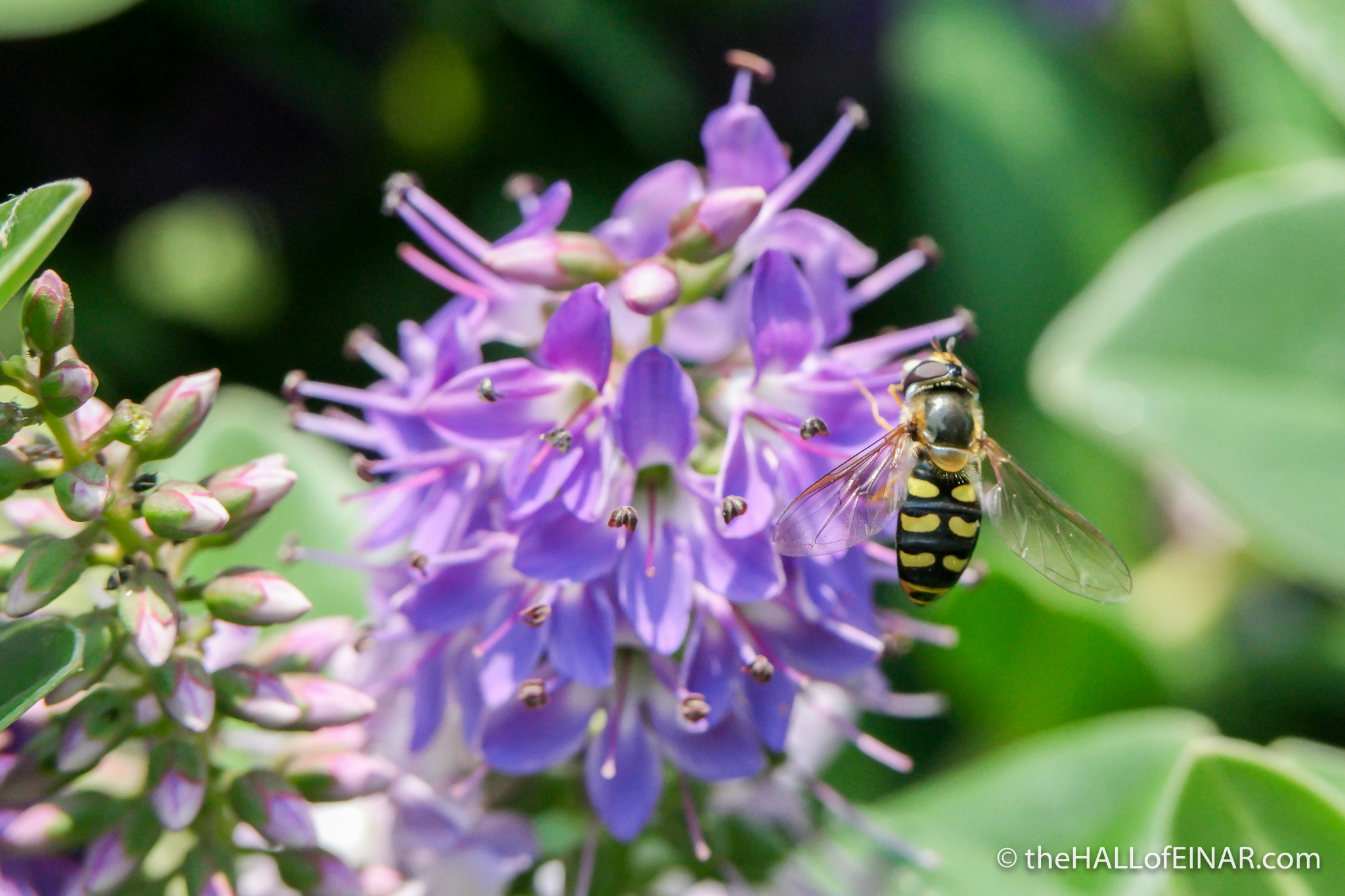 Eupeodes luniger Hoverfly - The Hall of Einar - photograph (c) David Bailey (not the)