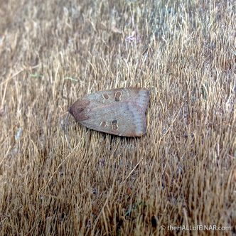 Lesser Yellow Underwing - The Hall of Einar - photograph (c) David Bailey (not the)