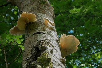 Pleurotus cornucopiae - The Hall of Einar - photograph (c) David Bailey (not the)