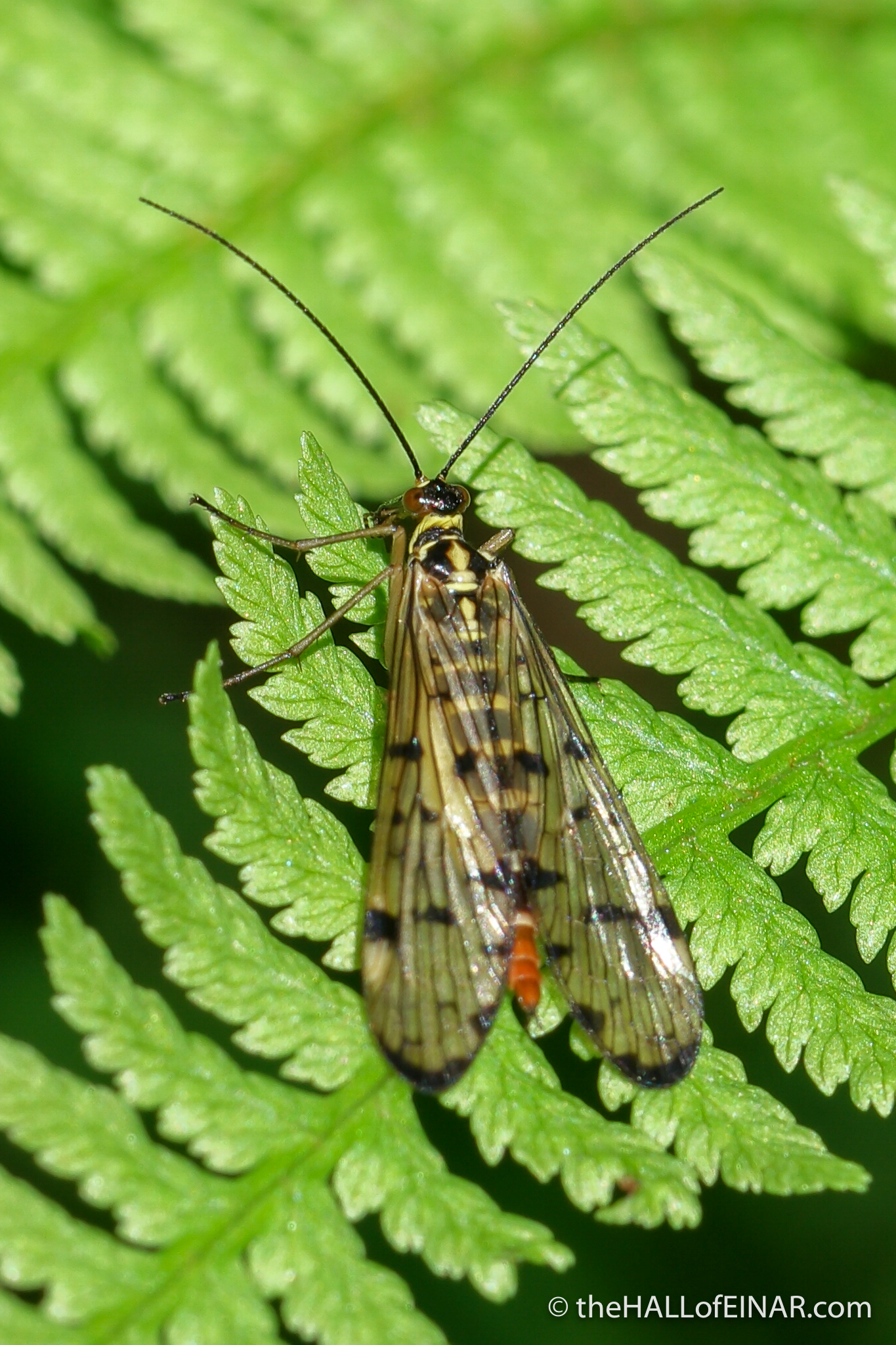 Scorpion Fly - The Hall of Einar - photograph (c) David Bailey (not the)