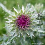Thistle - The Hall of Einar - photograph (c) David Bailey (not the)