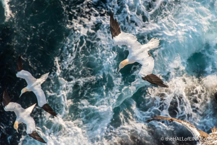 Gannets at Noup Head - The Hall of Einar - photograph (c) David Bailey (not the)