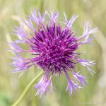 Greater Knapweed - The Hall of Einar - photograph (c) David Bailey (not the)