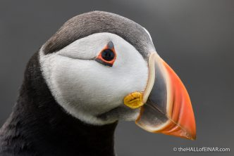 Puffin Portrait - The Hall of Einar - photograph (c) David Bailey (not the)