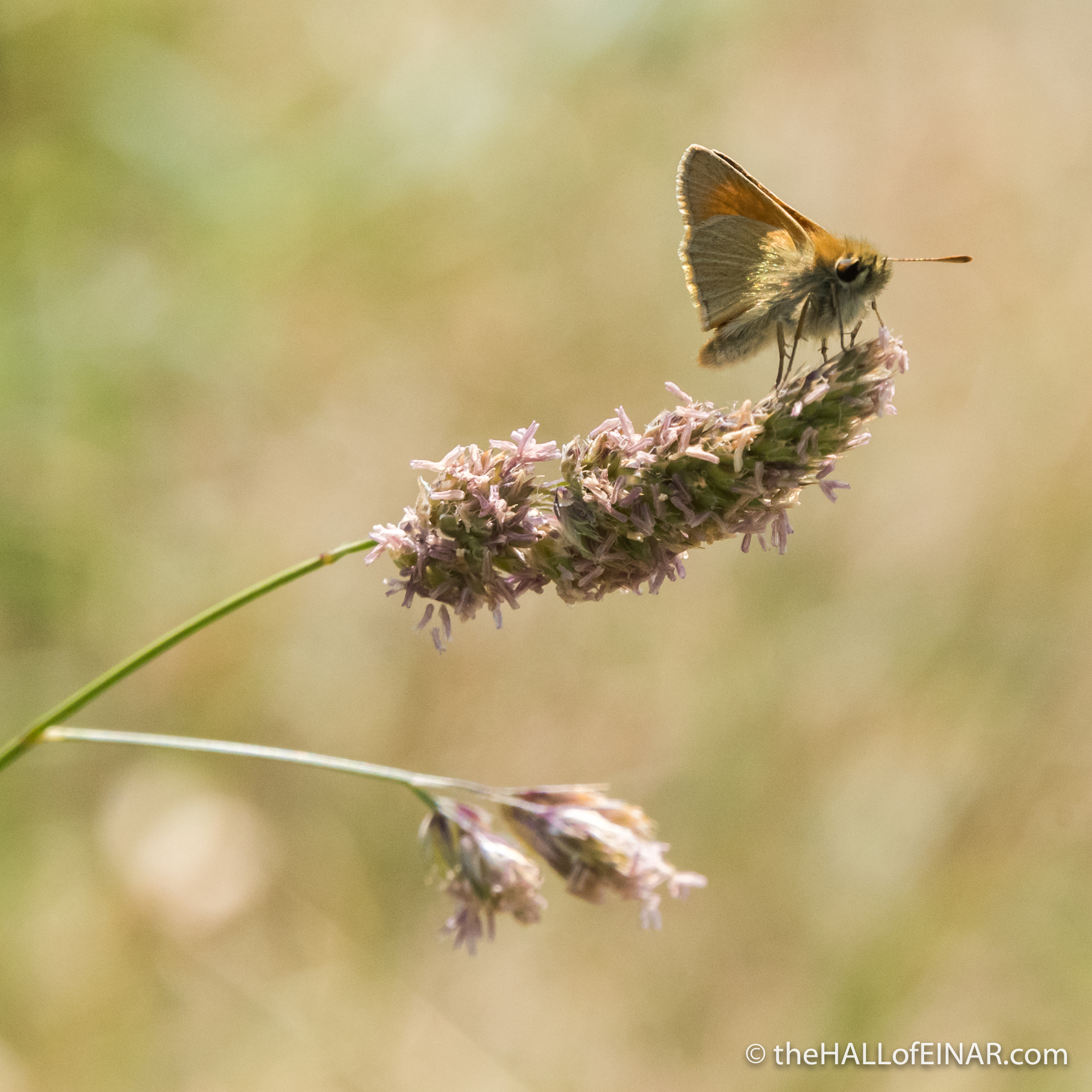 Small Skipper - The Hall of Einar - photograph (c) David Bailey (not the)