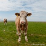 Curious Steers - The Hall of Einar - photograph (c) David Bailey (not the)