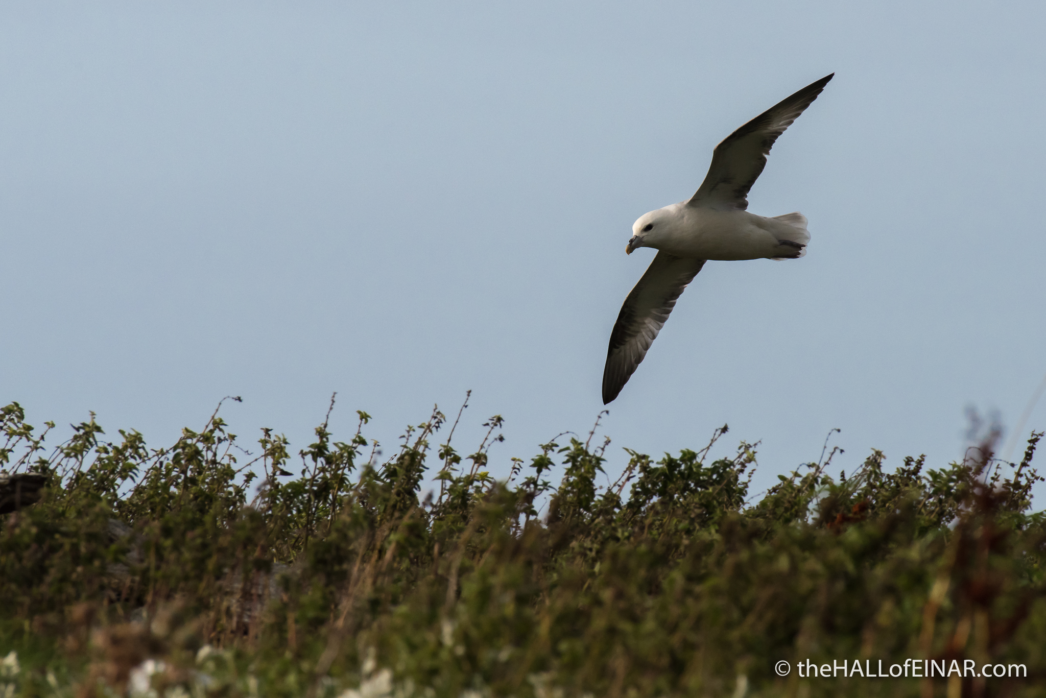 Flying Fulmar - The Hall of Einar - photograph (c) David Bailey (not the)